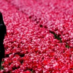 400 Years Before The Dotcom Bubble Burst, The World Economy Was Eviscerated By… Tulips???